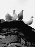 White Doves Belonging to French Publisher Robert Morel Premium Photographic Print by Pierre Boulat