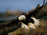 An American Bald Eagle Flies in for a Landing Fotoprint van Paul Nicklen