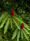 Two Red Tropical Flowers Blooming in a Rain Forest Photographic Print by Todd Gipstein