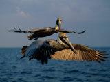 Deux grands pélicans volant au dessus de Key Biscayne. Papier Photo par Medford Taylor