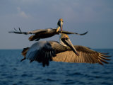 Two Brown Pelicans in Flight over Key Biscayne Fotografie-Druck von Medford Taylor