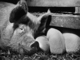 Not Pure Breds, Mixed Yorkshire Pigs, on Iowa Farm Premium Photographic Print by Gordon Parks