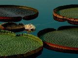 Victoria Water Lilies Photographic Print by James P. Blair