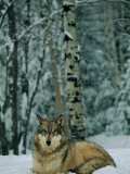 A Grey Wolf in the Snow Photographic Print by Joel Sartore