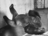 Phil the Gorilla Sleeping on His Back at the St. Louis Zoo Premium Photographic Print by Wallace Kirkland
