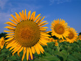 A Close View of Sunflowers Photographic Print by Medford Taylor