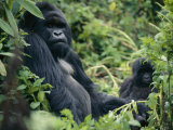 Adult Male Mountain Gorilla Photographic Print by Michael Nichols