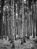Trees Standing in the Black Forest Photographic Print by Dmitri Kessel
