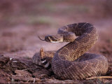 A Western Diamondback Rattlesnake Stands Coiled and Ready to Strike Photographic Print by Joel Sartore