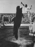 Pilot Whale Leaping to Catch Kipper from Keeper at Marineland Premium Photographic Print by J. R. Eyerman