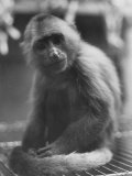 View of a Monkey at the Humane Society Premium Photographic Print by Paul Schutzer