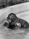 Oonami Female Baby Walrus in Her Pool at Coney Island Premium Photographic Print by Stan Wayman