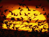 A View of the Sun with Silhouetted Snow Geese Photographic Print by Joel Sartore
