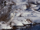 Great Egret in the Snow Photographic Print by Medford Taylor