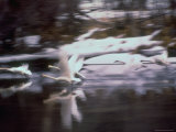 Trumpeter Swans Taking Flight from Water Premium Photographic Print by Vernon Merritt III