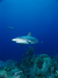 A Caribbean Reef Shark Swims Above a Coral Reef in the Bahamas Photographic Print by Brian J. Skerry