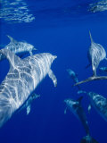 A Group of Spotted Dolphins Swim Near the Oceans Surface Photographic Print by Brian J. Skerry