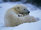 A Polar Bear Snuggles up with Her Cubs Fotoprint van Paul Nicklen