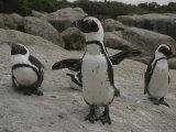 Jackass Penguins Photographic Print by Kenneth Garrett