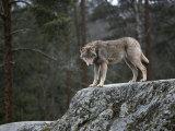 Wolf on Rock Fotografisk tryk af Mattias Klum