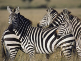 A Herd of Plains Zebras in Kenyas Masai Mara National Reserve Photographic Print by Medford Taylor