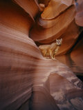 A Mountain Lion Pauses on a Ledge Inside a Swirled Rock Chasm Photographic Print by Norbert Rosing