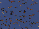 Monarch Butterflies in Flight Photographic Print by Raul Touzon