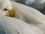 A Whooper Swan (Cygnus Cygnus) Keeps an Eye out as it Takes a Nap Photographic Print by Tim Laman