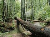 Arroyo y tronco de secuoya caído Lámina fotográfica por Rich Reid