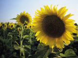 A Close View of a Field of Sunflowers in Tuscany, Italy Photographic Print by Ed George