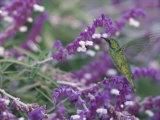 A Green Violet-Eared Hummingbird Feeds on Wildflowers Photographic Print by Roy Toft