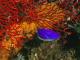 A Blue and Gold Damselfish against a Red Gorgonian Coral Photographic Print by Tim Laman