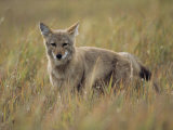 A Close View of a Coyote in Canadas Riding Mountain National Park Photographic Print by Medford Taylor