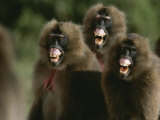 Three Female Geladas, Theropithecus Gelada, Bare Their Teeth Photographic Print by Michael Nichols