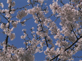 View of Cherry Blossoms in Full Bloom Photographic Print by Stacy Gold