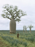 A Man Looks at a Baobab Tree Photographic Print by Luis Marden