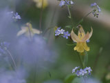 Forget-Me-Not and Yellow Columbine Wildflowers Photographic Print by Norbert Rosing