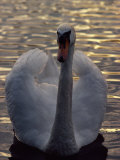 A Swan Photographic Print by Sisse Brimberg