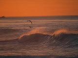 Brown Pelicans Ride Along Breaking Surf at Sunset in La Jolla Photographic Print by Tim Laman