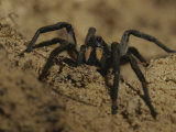 Mygalomorph Spider Photographic Print by Jason Edwards