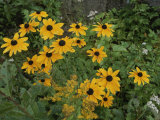A Close View of Black-Eyed Susans Photographie par Michael S. Lewis