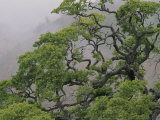 A Gnarled Oak Tree Stands in the Mist Photographic Print by Marc Moritsch
