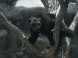 A Captive Wolverine in a Snow-Dusted Tree Photographic Print by Annie Griffiths Belt