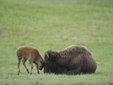 American Bison Calf Playfully Butts Heads with Mother Photographic Print by Norbert Rosing