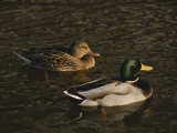 A Pair of Mallard Ducks Go for a Swim Photographic Print by Ted Spiegel