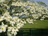 A blossoming dogwood tree in Virginia Giclee Print