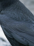 A Close View of the Back and Wing of a Raven Photographic Print by Tom Murphy