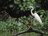 A Great Egret, Casmerodius Albus, Perches on Fallen Tree Limb Photographic Print by Tim Laman