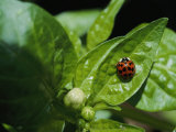 Close View of a Ladybug on a Leaf Photographic Print by Kenneth Garrett
