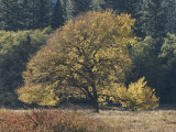 A Yellow Elm Tree Stands out against Green Foliage Impressão fotográfica por Marc Moritsch